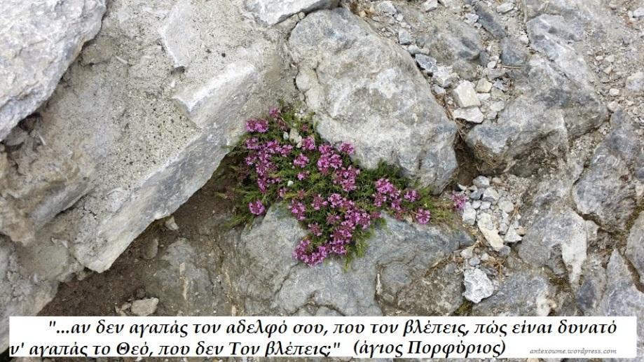 Όλυμπος αγριολούλουδα