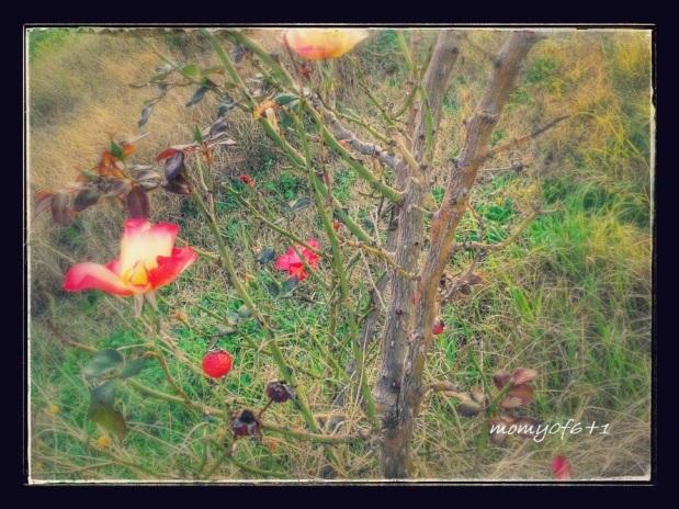 rose winter